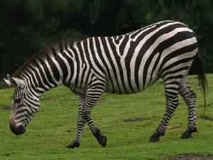 Equus quagga boehmi - Zèbre de Grant - Grant's zebra