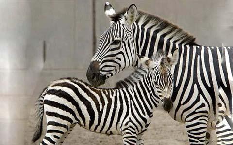 Equus-quagga-boehmi-Zèbre-de-Grant-Grant-s-zebra1