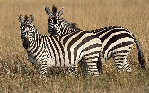 Equus-quagga-boehmi-Zèbre-de-Grant-Grant-s-zebra2