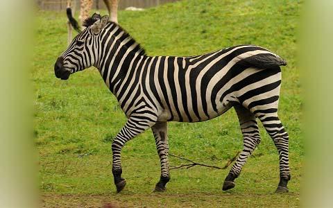Equus-quagga-boehmi-Zèbre-de-Grant-Grant-s-zebra3
