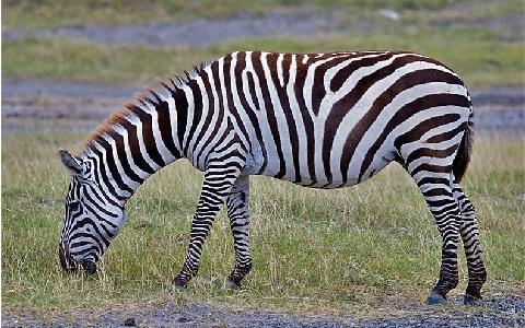 Equus-quagga-boehmi-Zèbre-de-Grant-Grant-s-zebra4