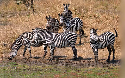Equus-quagga-boehmi-Zèbre-de-Grant-Grant-s-zebra5