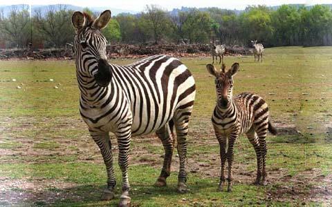 Equus-quagga-boehmi-Zèbre-de-Grant-Grant-s-zebra6