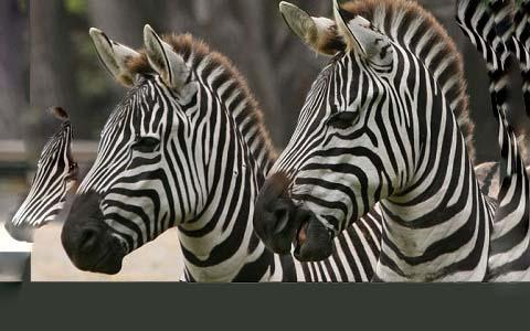 Equus-quagga-boehmi-Zèbre-de-Grant-Grant-s-zebra7