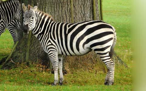 Equus-quagga-boehmi-Zèbre-de-Grant-Grant-s-zebra8