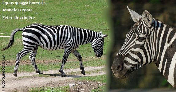 Equus quagga borensis - Maneless zebra - zèbre de crinière