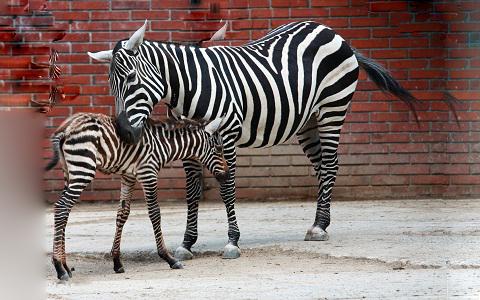 Equus-quagga-borensis-Maneless-zebra-Zèbre-de-crinière-xopark1