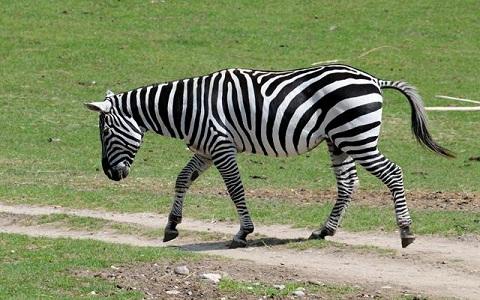 Equus-quagga-borensis-Maneless-zebra-Zèbre-de-crinière-xopark10