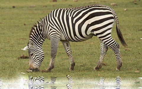 Equus-quagga-borensis-Maneless-zebra-Zèbre-de-crinière-xopark11