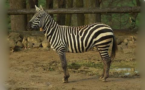 Equus-quagga-borensis-Maneless-zebra-Zèbre-de-crinière-xopark2