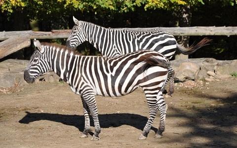 Equus-quagga-borensis-Maneless-zebra-Zèbre-de-crinière-xopark5