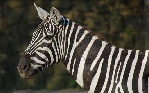 Equus-quagga-borensis-Maneless-zebra-Zèbre-de-crinière-xopark6