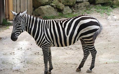 Equus-quagga-borensis-Maneless-zebra-Zèbre-de-crinière-xopark7