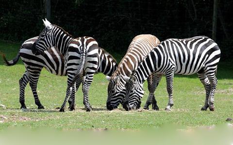 Equus-quagga-borensis-Maneless-zebra-Zèbre-de-crinière-xopark9