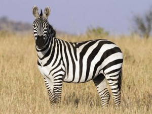 Equus-quagga-burchellii-zèbre-des-plaines-xopark0