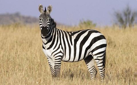 Equus-quagga-burchellii-zèbre-des-plaines-xopark1