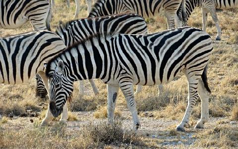 Equus-quagga-burchellii-zèbre-des-plaines-xopark2