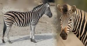 Equus quagga chapmani (Zèbre de Chapman - Chapman's zebra)