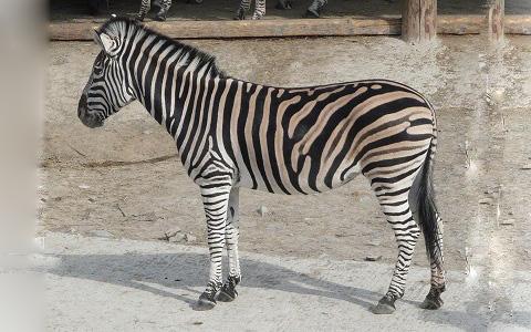 Equus-quagga-chapmani-Zèbre-de-Chapman-Chapman-s-zebra-xopark1