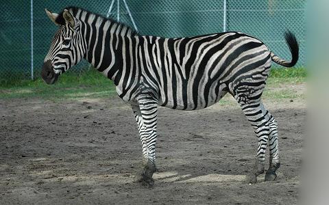 Equus-quagga-chapmani-Zèbre-de-Chapman-Chapman-s-zebra-xopark10