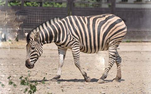 Equus-quagga-chapmani-Zèbre-de-Chapman-Chapman-s-zebra-xopark2