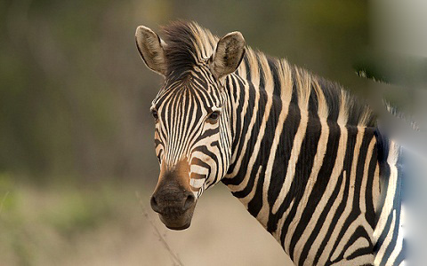 Equus-quagga-chapmani-Zèbre-de-Chapman-Chapman-s-zebra-xopark3