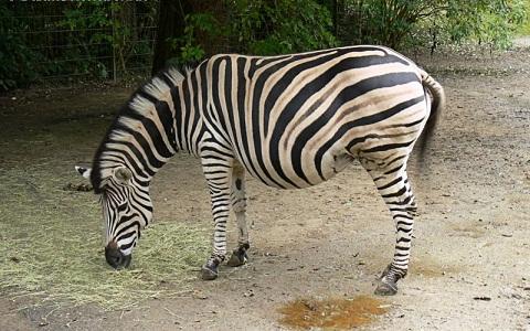 Equus-quagga-chapmani-Zèbre-de-Chapman-Chapman-s-zebra-xopark4