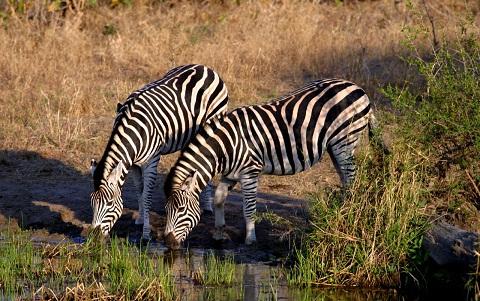 Equus-quagga-chapmani-Zèbre-de-Chapman-Chapman-s-zebra-xopark5