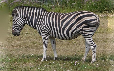 Equus-quagga-chapmani-Zèbre-de-Chapman-Chapman-s-zebra-xopark6