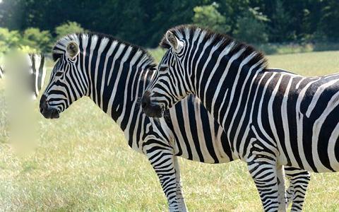 Equus-quagga-chapmani-Zèbre-de-Chapman-Chapman-s-zebra-xopark7