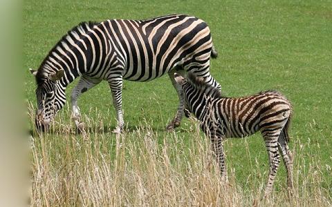 Equus-quagga-chapmani-Zèbre-de-Chapman-Chapman-s-zebra-xopark8