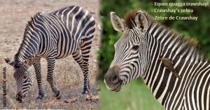 Equus quagga crawshayi (Crawshay's zebra)
