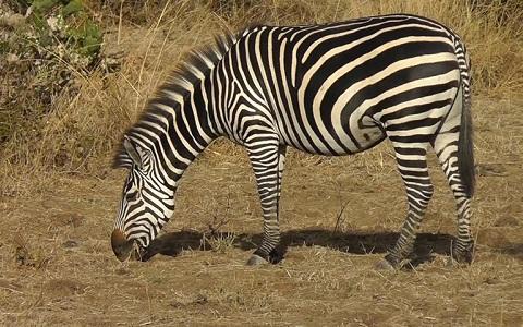 Equus-quagga-crawshayi-Crawshay-s-zebra-xopark1