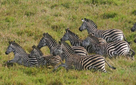 Equus-quagga-crawshayi-Crawshay-s-zebra-xopark10