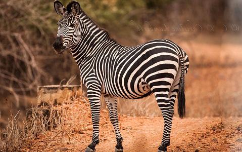 Equus-quagga-crawshayi-Crawshay-s-zebra-xopark2