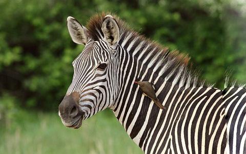 Equus-quagga-crawshayi-Crawshay-s-zebra-xopark3