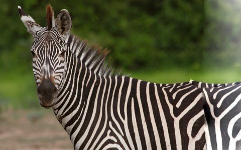 Equus-quagga-crawshayi-Crawshay-s-zebra-xopark4