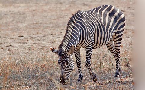 Equus-quagga-crawshayi-Crawshay-s-zebra-xopark5