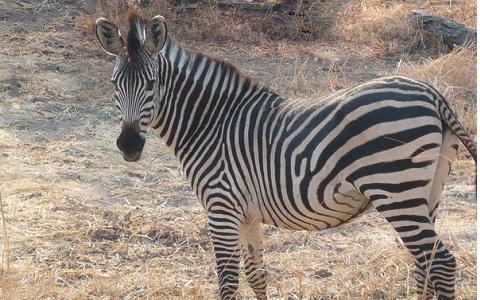 Equus-quagga-crawshayi-Crawshay-s-zebra-xopark6