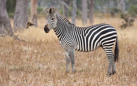 Equus-quagga-crawshayi-Crawshay-s-zebra-xopark8