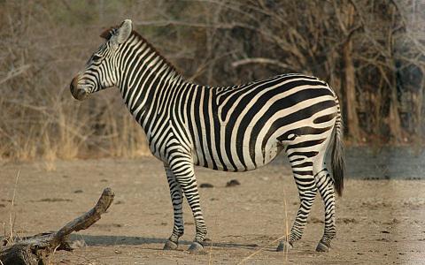 Equus-quagga-crawshayi-Crawshay-s-zebra-xopark9