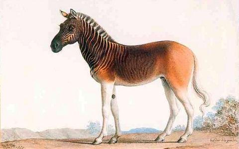 Equus-quagga-quagga-xopark3