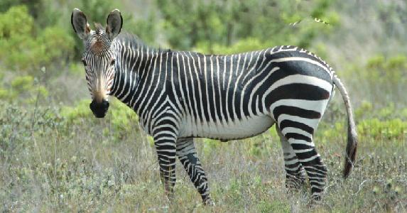 Equus zebra (Mountain zebra - Zèbre de montagne)