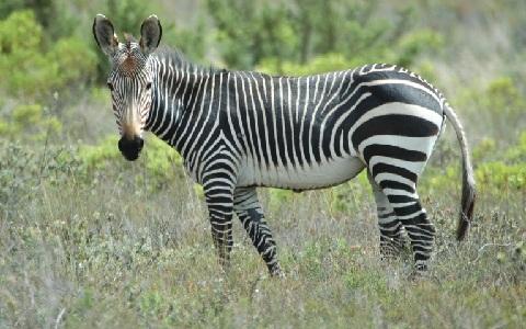 Equus-zebra-Mountain-zebra-Zèbre-de-montagne-xopark1