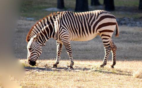 Equus-zebra-Mountain-zebra-Zèbre-de-montagne-xopark10