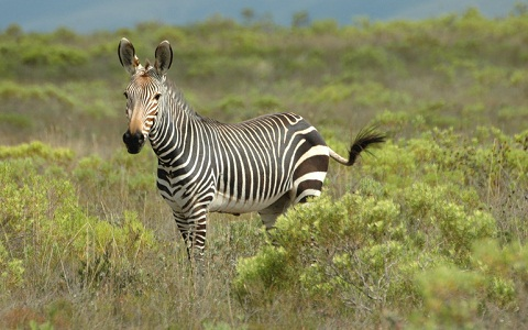 Equus-zebra-Mountain-zebra-Zèbre-de-montagne-xopark2