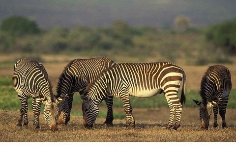 Equus-zebra-Mountain-zebra-Zèbre-de-montagne-xopark5