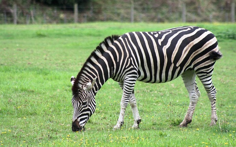 Equus-zebra-Mountain-zebra-Zèbre-de-montagne-xopark6