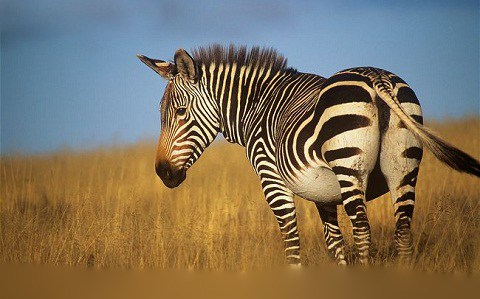 ARKive image GES022067 – Mountain zebra