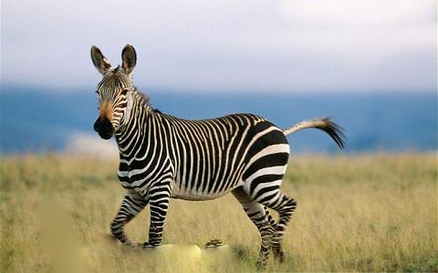 ARKive image GES022659 – Mountain zebra